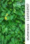 green leaves background. spring ... | Shutterstock . vector #1165533937