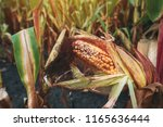 damaged corn on the cob in... | Shutterstock . vector #1165636444