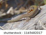 the sharp snouted rock lizard  ... | Shutterstock . vector #1165682017