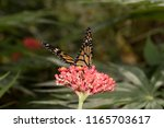 Small photo of a monarch falter with half open wings on a tropical flower head photographed in a tropical greenhouse with macro lens