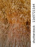 Small photo of Stook Sheaf of traditional and organic wheat in evening sun close-up