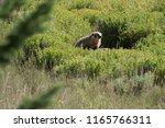 a mighty badger in green brush | Shutterstock . vector #1165766311