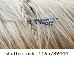 horse mane with lavender in... | Shutterstock . vector #1165789444