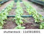 fresh basil growing in a garden ... | Shutterstock . vector #1165818001