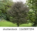 fern leaf beech tree  fagus... | Shutterstock . vector #1165897294
