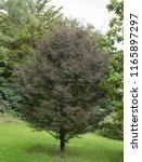 fern leaf beech tree  fagus... | Shutterstock . vector #1165897297