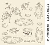 collection of yams  tuber of... | Shutterstock .eps vector #1165950181