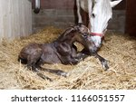 A Brown Foal Is Born In A Hors...