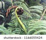 the silver fern grow in spiral... | Shutterstock . vector #1166055424
