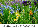 Colorful Irises Field. Spring...