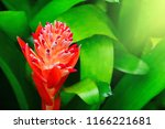 red tropical flower blooming on ... | Shutterstock . vector #1166221681
