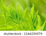 leaves of green uncultivated...   Shutterstock . vector #1166234374
