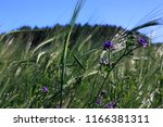 spikes of wheat in the field | Shutterstock . vector #1166381311