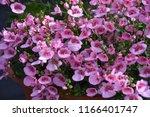 closeup of pink summer flowers... | Shutterstock . vector #1166401747