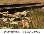 Daisies By The Train Tracks