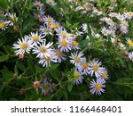 white flowers of symphyotrichum ... | Shutterstock . vector #1166468401