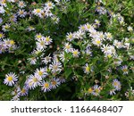 white flowers of symphyotrichum ... | Shutterstock . vector #1166468407