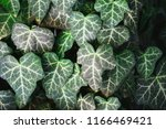 a wall of common ivy. usuable... | Shutterstock . vector #1166469421