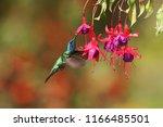 green violetear  colibri... | Shutterstock . vector #1166485501