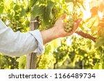 vineyard   white grapes in... | Shutterstock . vector #1166489734