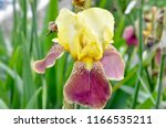 Isolated Yellow Red Iris In...