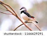 the diamond firetail finch  is... | Shutterstock . vector #1166629291