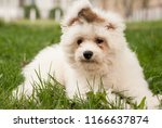 Stock photo puppy chinese crested dog walk your puppy on the green grass 1166637874