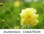 yellow cosmos or cosmos... | Shutterstock . vector #1166678134
