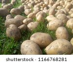 potatoes on the ground. in... | Shutterstock . vector #1166768281