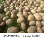potatoes on the ground. in... | Shutterstock . vector #1166768284