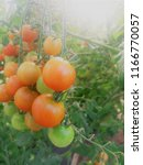 small tomatoes. on the branches.... | Shutterstock . vector #1166770057