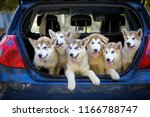 Stock photo many dogs are sitting in the trunk of the car puppies of the alaskan malamute transportation of 1166788747