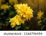 dahlia 'kelvin floodlight'... | Shutterstock . vector #1166796454