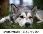 Stock photo bored alaskan malamute 1166799154