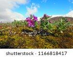 dwarf fireweed  arctic flora in ... | Shutterstock . vector #1166818417