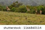 a picture of giraffes  giraffa  ... | Shutterstock . vector #1166860114