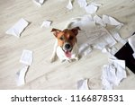 Stock photo naughty dog in the mess bad dog sitting in torn pieces of documents on the floor pet tore up 1166878531