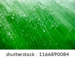Banane Palm Leaf  Green Nature...