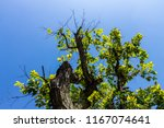 the silhouette of tree stands... | Shutterstock . vector #1167074641