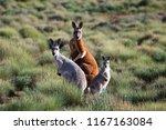 Family Of Kangaroos In South...