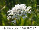 Picture Of A Wild Carrot Flower ...