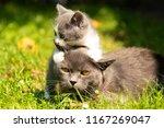 Stock photo family of cats outdoor cat with the baby kitten on grass cat hugs kitten cat plays kitten 1167269047