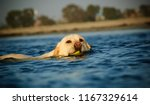 yellow labrador retriever dog... | Shutterstock . vector #1167329614