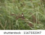 swallow in the reed collar | Shutterstock . vector #1167332347