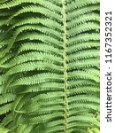 leaves of fern. texture. | Shutterstock . vector #1167352321