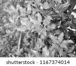 holly  ilex aquifolium  aka... | Shutterstock . vector #1167374014