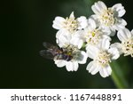 big blowfly  nasty fly  on snow ... | Shutterstock . vector #1167448891