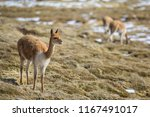 vicunas is a brother of the... | Shutterstock . vector #1167491017