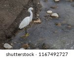 heron looking for fish at lluta ... | Shutterstock . vector #1167492727