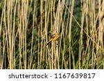 greenfinch  chloris chloris  ... | Shutterstock . vector #1167639817